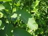 Asclepias syriaca - Common Milkweed