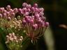 Asclepias incarnata - Swamp Milkweed