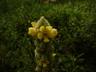 Verbascum thapsus - Mullein
