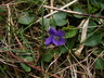 Viola - Violet