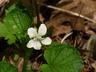 Viola striata - Cream Violet