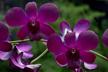 Dendrobium (Dendrobium Blue Violetta × Dendrobium Burana Dark Blue)