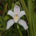 Cymbidium eburneum