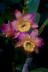 Dendrobium grex Oriental Smile 'Fantasy'