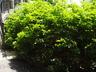 Clethra alnifolia 'Tom's Compact' - Sweet Pepperbush
