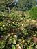 Epimedium x versicolor 'Sulphureum' - Yellow Epimedium