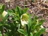 Helleborus lividus ssp. corsicus - Corsican Hellebore