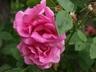 Rosa 'Zephirine Drouhin' - Climbing Rose