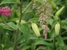 Lilium 'Mystique' - Oriental Hybrid Lily