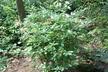 Rhododendron arborescens - Sweet Azalea