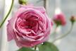 Rosa 'Gros Choux d'Hollande' - Centifolia Rose