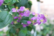 Tibouchina - Glory-Bush