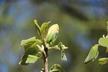 Magnolia acuminata var. subcordata 'Peirce's Park' - Yellow Cucumber Magnolia