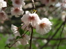 Prunus 'Hally Jolivette' - Flowering Cherry