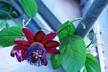 Passiflora phoenicea 'Ruby Glow' - Passion-Flower