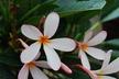 Plumeria obtusa 'Dwarf Singapore Pink' - Frangipani