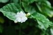 Jasminum sambac 'Maid of Orleans' - Arabian Jasmine