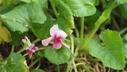 Viola odorata 'Rosina' - Sweet Violet