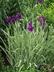 Iris ensata 'Variegata' - Japanese Iris