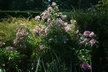 Symphyotrichum novae-angliae 'Harrington's Pink' - New England Aster