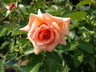 Rosa 'Meibedull' [sold as Apricot Candy (TM)] - Hybrid Tea Rose