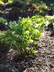 Helleborus 'Gold Finch' - Hellebore