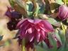 Helleborus x hybridus 'Kingston Cardinal' - Hellebore