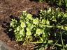 Helleborus x hybridus 'Snow Bunting' - Hellebore