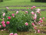 Paeonia 'Paula Fay' - Hybrid Herbaceous Peony