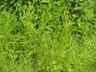 Helenium flexuosum - Purplehead Sneezeweed