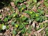 Viola pubescens var. scabriuscula - Downy Yellow Violet