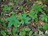 Parthenocissus quinquefolia - Virginia Creeper