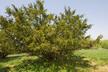 Taxus - Yew