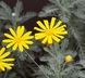 Euryops pectinatus - Grey-Leaved Euryops
