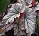 Begonia 'Looking Glass' - Begonia