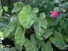 Colocasia esculenta 'Mojito' - Elephant's-Ear