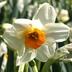 Narcissus 'Geranium' - Tazetta Daffodil