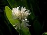Agapanthus praecox ssp. orientalis 'PMN06' [sold as Queen Mum (TM)] - African-Lily