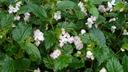 Begonia 'Richmondensis' - Begonia