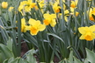 Narcissus 'Fortissimo' - Large-Cupped Daffodil