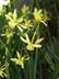Narcissus 'Hawera' - Triandrus Daffodil