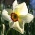 Narcissus 'Actaea' - Poeticus Daffodil