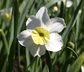 Narcissus 'Jack Snipe' - Cyclamineus Daffodil