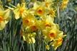Narcissus 'Martinette' - Jonquilla Daffodil