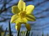 Narcissus 'Pipit' - Jonquilla Daffodil