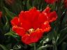 Tulipa 'Carmine Parrot' - Parrot Tulip