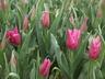Tulipa 'Mariette' - Lily-Flowered Tulip