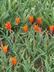 Tulipa 'Ballerina' - Lily-Flowered Tulip