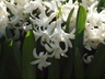 Hyacinthus orientalis 'White Pearl' - Common Hyacinth