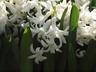 Hyacinthus orientalis 'White Pearl' - Common Hyacinth